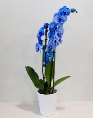 μπλε ορχιδέα